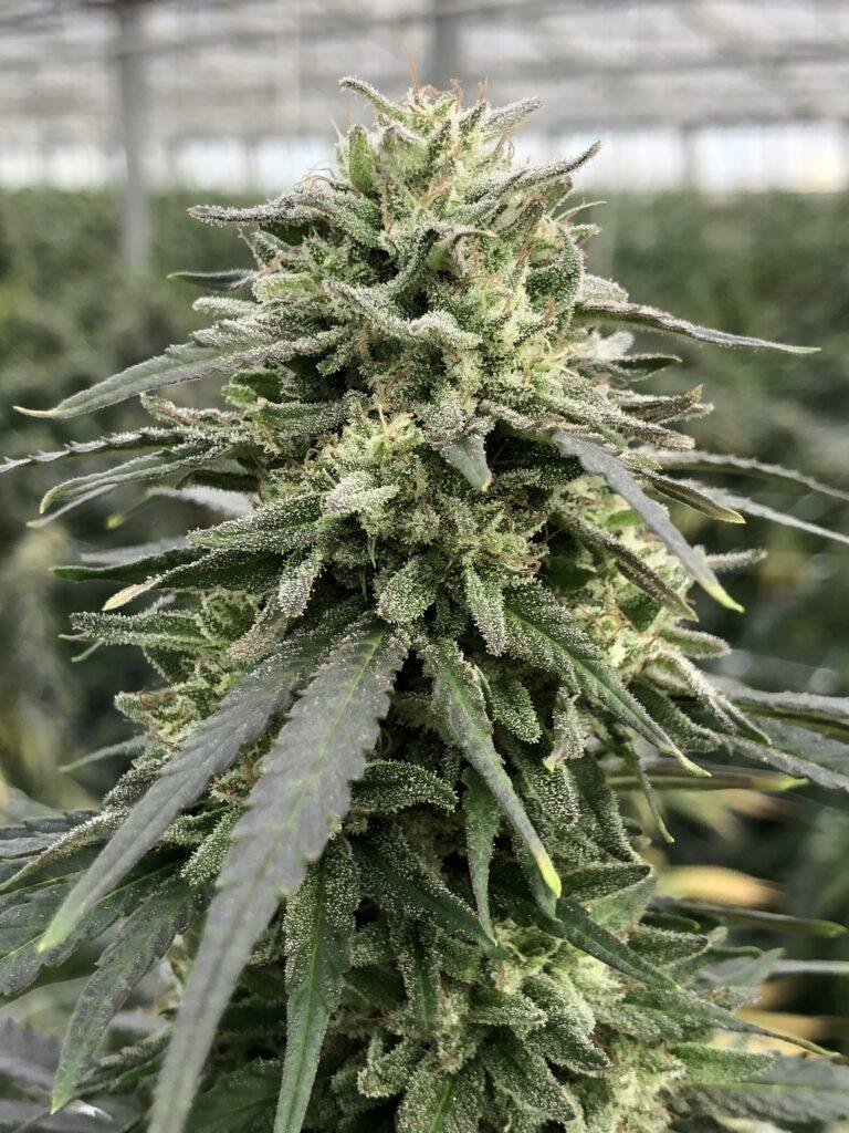 high variété 1